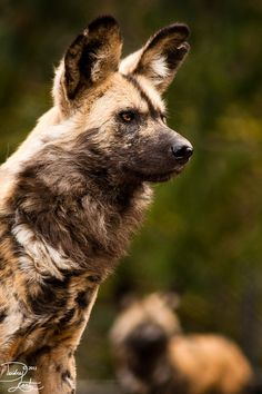 African spotted dog