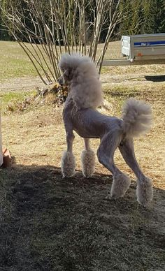 "Excellent ""poodle pups"" detail is readily available on our internet site. Dog Grooming Styles, Poodle Grooming, Goldendoodle Grooming, Yorkie Poodle, I Love Dogs, Cute Dogs, Poodle Haircut Styles, Poodle Cuts, Dog Haircuts"