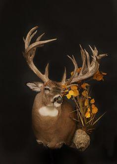 Whitetail Deer Pictures, Whitetail Deer Hunting, Coyote Hunting, Pheasant Hunting, Archery Hunting, Taxidermy Decor, Taxidermy Display, Big Deer, Deer Mounts