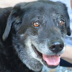 BB - Labrador Retriever mix - Male - 11 yrs old -  Reach Out Rescue & Resources - Westminster, MD. - http://www.reachoutrescue.org/animals/detail?AnimalID=5439751 - https://www.facebook.com/reachoutrescueandresources - http://www.adoptapet.com/pet/9401815-westminster-maryland-labrador-retriever-mix - http://www.petfinder.com/petdetail/25486317/