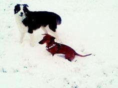 Dachshund and best friend Carlo, border collie