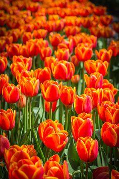 1) Your favorite flower to grow #organic and #gardening - Orange Tulips