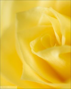 This yellow rose photo reminds me of a children's book I read with gorgeous vivid illustrations - anyone know the title of the book?