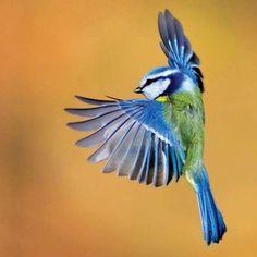 blue tit in flight - Google Search