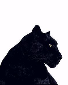 Panther Cat, Panther Logo, Black Panther, Baby Tigers, Tiger Cubs, Tiger Tiger, Bengal Tiger, Beautiful Cats, Animals Beautiful