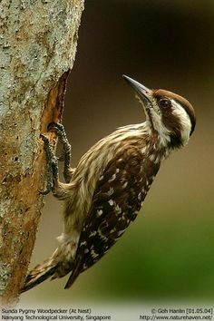 Sunda Pygmy Woodpecker (Dendrocopos moluccensis) Malaysia, Indonesia and the Philippines