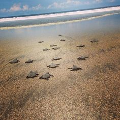 """""""Started our morning off by releasing 30 baby turtles into the Pacific! Volunteer Overseas, Volunteer Programs, Colorful Fish, Tropical Fish, Freshwater Aquarium, Aquarium Fish, Turtle Conservation, Baby Sea Turtles, African Cichlids"""