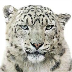 Animal Portraits : Morten Koldby(http://koldby.com/) - ユキヒョウ
