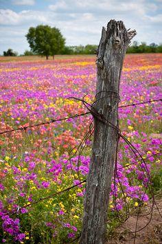 Texas Wildflowers.  Photo by Carol Watson.