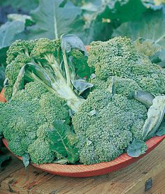 Broccoli Seeds and Plants - Broccoli is one of the most nutritious garden vegetables you can grow. Grow fresh broccoli in spring and fall. Find organic broccoli seeds available at Burpee. Garden Plants Vegetable, Planting Vegetables, Growing Vegetables, Veggies, Organic Fertilizer, Organic Gardening, Gardening Tips, Organic Pesticides, Flower Gardening