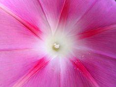 fiori - convolvolo rosa