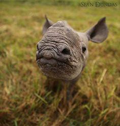 Juvenile rhinoceros.                                                                                                                                                                                 More