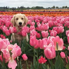 Ugh favorite dog breed and favorite flower! Golden retriever and pink tulips