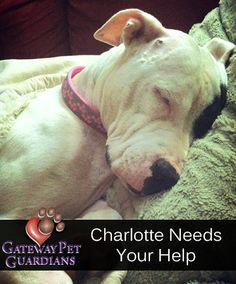 There was a very important rescue over the weekend at Gateway Pet Guardians. Meet Charlotte, a stray we pulled on Saturday who is now recovering from a terrible ordeal. Charlotte needs your love and support to continue her recovery from a gunshot wound and poisoning. Let's make sure she has a Happily Ever After story!   Read Charlott's Story: http://www.youcaring.com/pet-expenses/charlotte-s-second-chance/76199#sthash.dJJhvRcm.dpuf