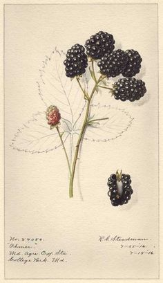 USDA Pomological Watercolor Collection Ohmer Blackberry (1816) by Royal G. Steadman. http://www.ars-grin.gov/npgs/images/cor/pwc/rubus/ohmer...