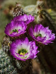 Pink Lady Finger Cactus virágok Saija Lehtonen