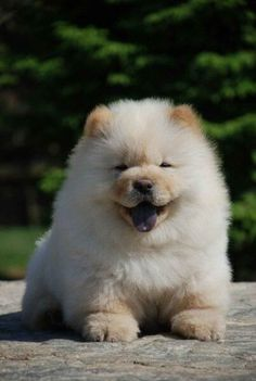 The 15 Most Fluffy And Cute Animals In The World | Chow Chow Puppy - notice the black tongue unique to this breed.