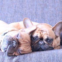 The World needs more 'Brotherly & Pupperly' French Bulldog Love.❤️