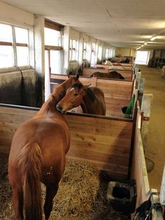 Lower walls between stable boxes allow horses to mutually groom and socially interact.   Sozialkontakt auch in den Boxen möglich