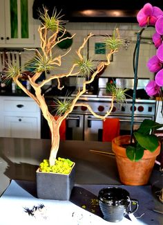 How to create your own Tillandsia Tree. Perfect little tree, hearty out doors, and and perfectly sculptural indoors. I don't like the idea of gluing the plants to the tree, will try wire. Succulents Garden, Garden Plants, House Plants, Planting Flowers, Cool Plants, Air Plants, Indoor Plants, Air Plant Display, Plant Decor