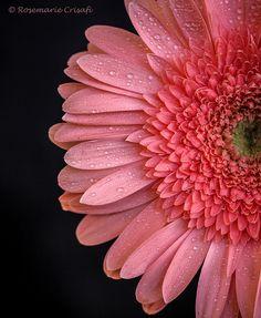 ☆ Gerbera Daisy Half :+: By Rosemarie Crisafi ☆ Light Pink Flowers, Fresh Flowers, Beautiful Flowers, Daisy Flowers, Wedding Flowers, Gerbera Flower, Flower Bouquets, Bridal Bouquets, Pink Gerbera