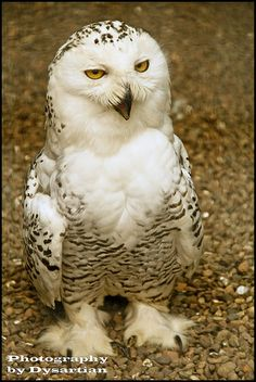 Adult Snowy Owl - photographed in Scotland