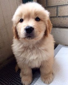The traits we all admire about the Intelligent Golden Retriever Puppy Cute Funny Animals, Cute Baby Animals, Animals And Pets, Funny Dogs, Cute Dogs And Puppies, I Love Dogs, Doggies, Corgi Puppies, Golden Puppy