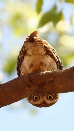 owl owls bird birds wildlife animal animals photography - The world's most private search engine Animals And Pets, Baby Animals, Funny Animals, Cute Animals, Baby Owls, Beautiful Owl, Animals Beautiful, Owl Bird, Pet Birds