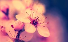 Nature Flowers Wallpaper Nature Wallpapers For Free Download About Cherry Flower Cherry Blossoms Hydrangea