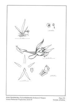 Plectrophora tucanderana