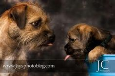 The Border Terrier coat may be red, blue and tan, grizzle and tan, or wheaten (pale yellow or fawn). Some possess a small patch of white on the chest.