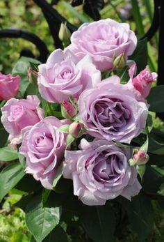 'since last night incense [Ieraishan]' | Hybrid Tea Rose. Production in 2013 Japan Aoki Hongda production