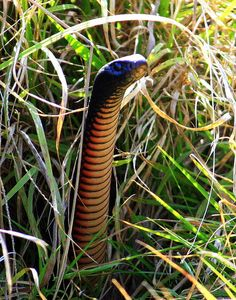 An Australian dangerous reptile, a red bellied black-snake