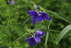 prairie spiderwort (Tradescantia occidentalis var. occidentalis) - Photo by Wayne Rasmussen - http://minnesotaseasons.com/Plants/prairie_spiderwort.html