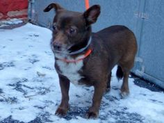 Manhattan Center DAFFY - A1025107 FEMALE, BLACK / BROWN, DACHSHUND / CHIHUAHUA SH, 7 yrs STRAY - ONHOLDHERE, HOLD FOR OWNER DIED Reason STRAY Intake condition UNSPECIFIE Intake Date 01/09/2015, From NY 10467, DueOut Date 01/12/2015 https://www.facebook.com/photo.php?fbid=942407515772128