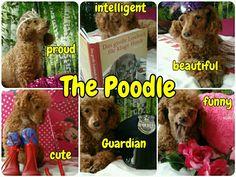 The Poodle   (tags: apricot fawn cute miniature poodle dog Leo Leonardo proud cute intelligent funny beautiful Guardian)
