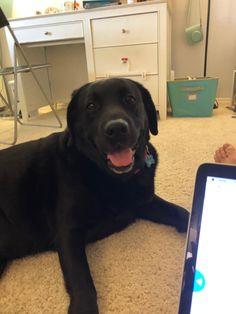 Black Lab Puppies, Black Labrador, Labrador Retriever, Amazing, Dogs, Cute, Animals, Labrador Retrievers, Black Labrador Puppies
