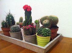 Kamerplanten: cactussen