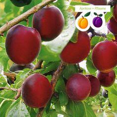 Dies Frucht kann man nicht kaufen, man muss sie anbauen...  You can't buy this fruit, you have to grow it to have it... Die 'Aprisali®' besitzt große, saftige, dunkelrote Früchte mit dunkelrot gefärbtem Fruchtfleisch, welche bereits ab Juli an dieser Züchtung reifen. Die Früchte sind ideal zum Frischverzehr, aber auch zur Weiterverarbeitung als Marmelade oder Konfitüre geeignet.  Geernet werden können die Früchte bereits ab dem 2. Standjahr.  Sie sind moniliaresistent und selbstfruchtbar.