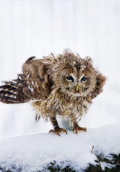Amazing wildlife - Owl photo - (Thanks to Eric Alexander, who previously had pinned this to my group board about Owls before I began re-integrating it as a section of my Birds. Beautiful Owl, Animals Beautiful, Cute Animals, Wild Animals, Strix Aluco, Tawny Owl, Owl Pictures, Owl Always Love You, Wise Owl