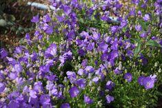 Buy bellflower Campanula carpatica 'Blaue Clips': Delivery by Crocus
