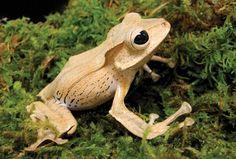 Borneo Eared Frog  photo: Joe McDonald
