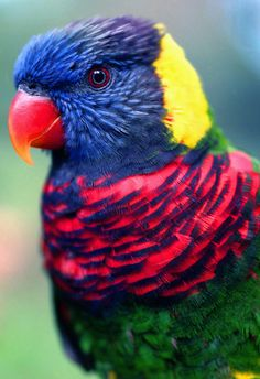 Instead of eating mostly nuts and seeds like other parrots, lories and lorikeets dine on flowers, pollen, and nectar. Photo by Rich Killionon flickr