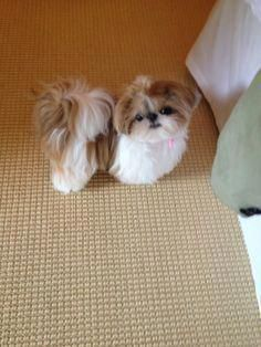 Dog Breeds LITTLE MISS MERRIWEATHER the Shih Tzu - Thousands of good dog names from many categories. Gender specific puppy names as well as by breed, color, size and even temperament. Shitzu Puppies, Bichon Frise, Cute Puppies, Cute Dogs, Puppies Gif, Samoyed Dog, Shih Tzu Puppy, Shih Tzus, Imperial Shih Tzu