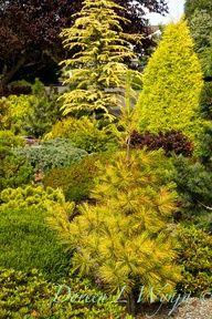 Pinus strobus Louie_011