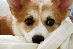 Corgi Snuggles   Yuki the cute Pembroke Welsh Corgi puppy via Flickr - Photo Sharing! © Michelle Lo MiLo Photography