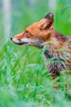 Fox | Vixen | Tod | Renard | лисица | Zorro | 狐 | Sionnach | Volpe | Red Fox