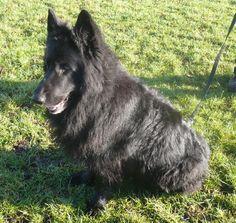 Blue German Shepherd | blue the black long coated german shepherd