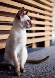 For years, the Siamese kitten has actually continually been among the most preferred breeds in the world as well as for good reason Siamese Kittens, Cute Cats And Kittens, Beautiful Cats, Animals Beautiful, Oriental Shorthair Cats, Cat Empire, Oriental Cat, Fancy Cats, Domestic Cat