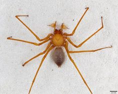 This undated photo from the California Academy of Sciences in San Francisco, Calif., shows a specimen of a new family of spiders, which scientists are calling Cave Robber (Trogloraptor marchingtoni ) for its fearsome claws. Amateur cave explorers found the spider in 2010 in a cave outside Grants Pass, Ore., and sent specimens to the California Academy of Sciences, where scientists decided it was so evolutionarily different that they had to create a whole new family to put it in. The discovery is